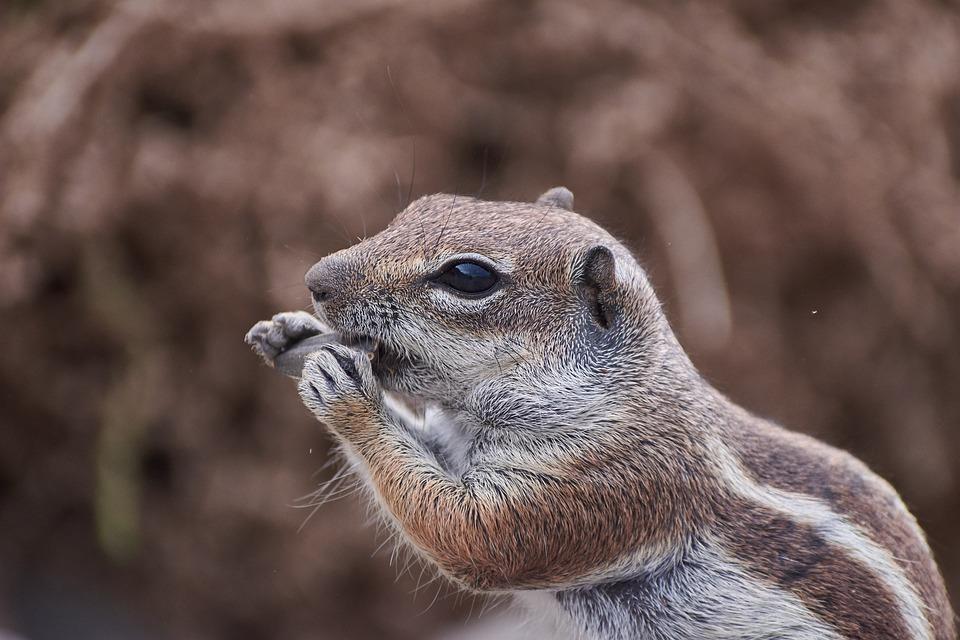 Gophers, Tame, Sweet, Curious, Wild, Eat, Mammal, Cute