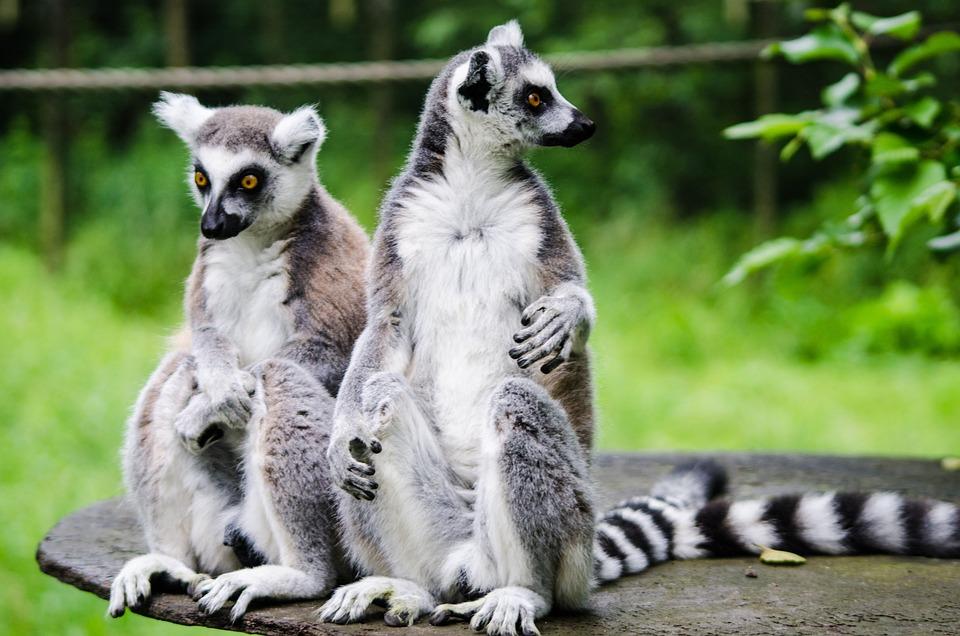 Lemur, Zoo, Wildlife, Nature, Animal, Wild, Mammal