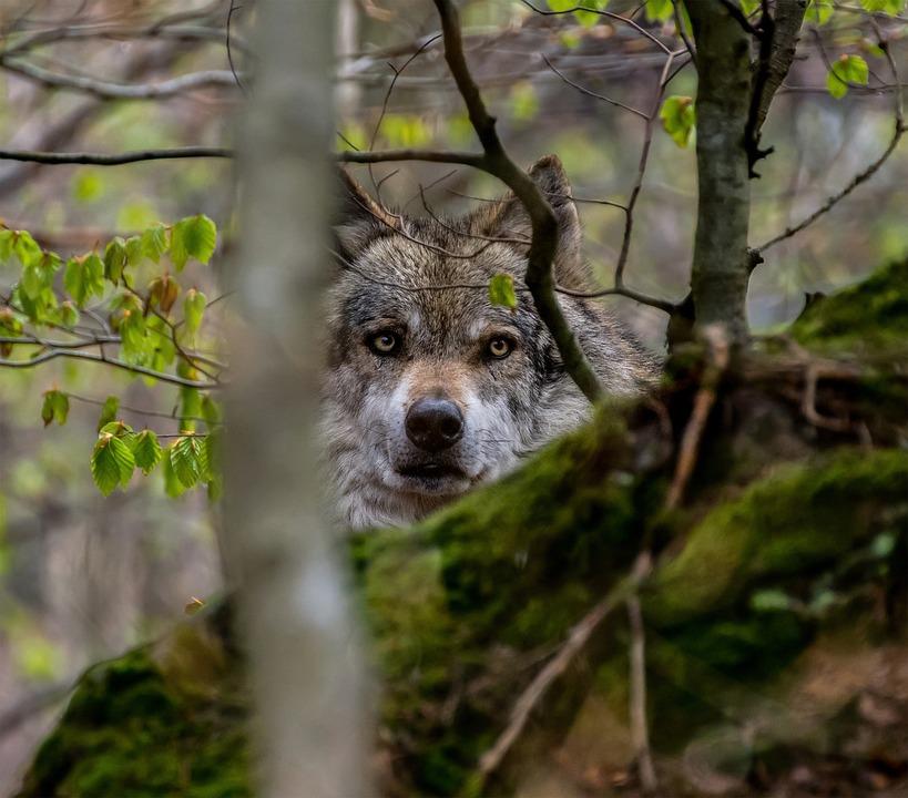 Free photo Mammal Wild Nature Carnivore Animal Wolf Forest ...