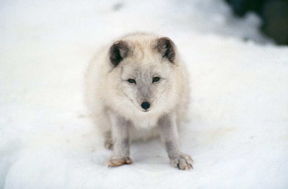 Artic Fox, Mammal, Wildlife
