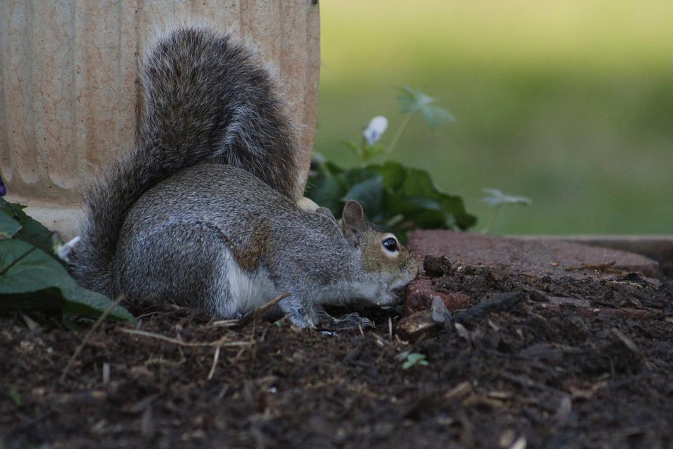 Mammal, Squirrel, Rodent, Wildlife, Nature, Outdoors