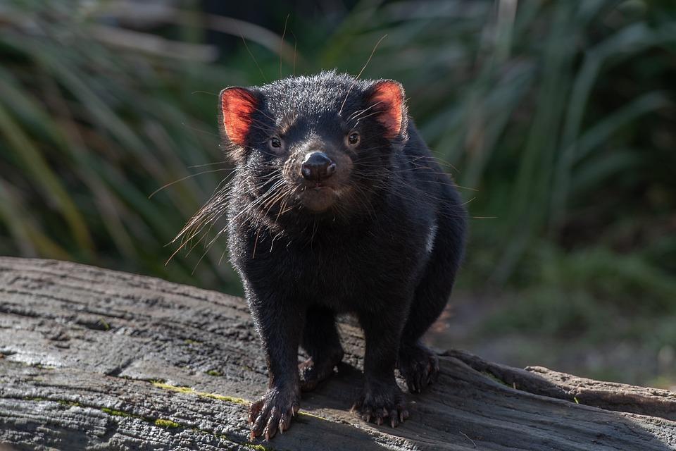 Tasmanian Devil, Marsupial, Wildlife, Mammal