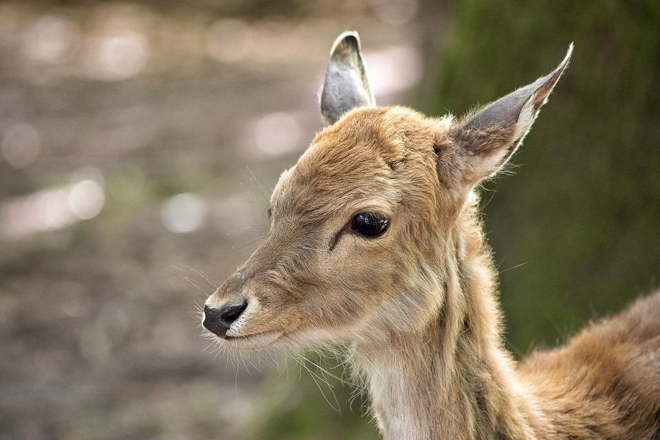 Fallow Deer, Mammal, Animal, Animal World, Young Animal