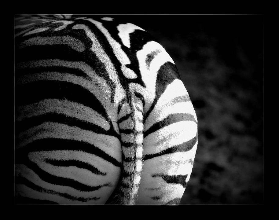 Zebra, Stripes, Animal, Wild, Safari, Mammal, Animals