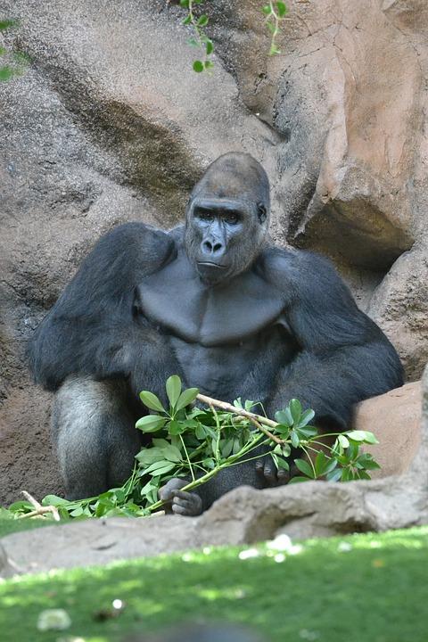 Monkey, Ape, Gorilla, Zoo, Mammal, Watch