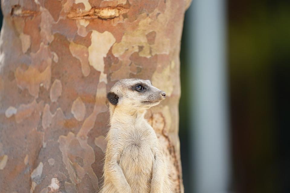 Meerkat, Mammal, Zoo, Cute, Wildlife Photography