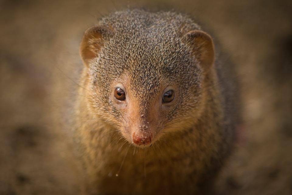 Zwergmanguste, Africa, Attention, Active, Mammal