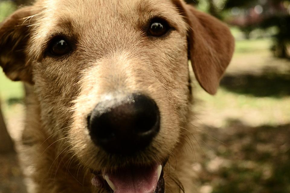 Canis Lupus Familiaris, Mammalia, Animalia, Pet