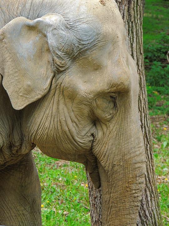 Elephant, Great, Pet, Mammalian, Trunk