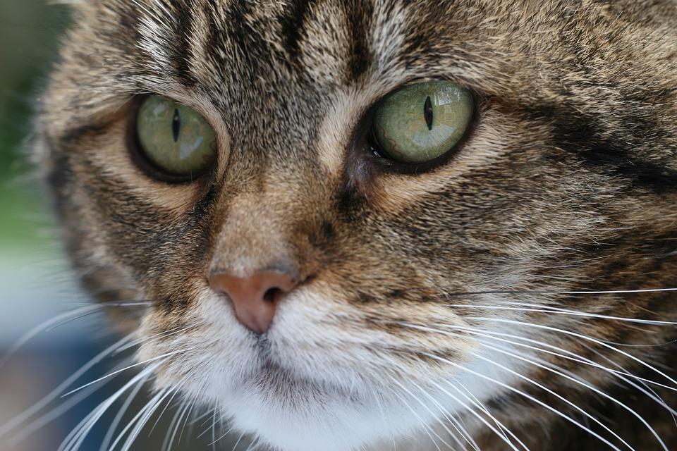 Cat, Animal Kingdom, Mammals, Cute, Portrait