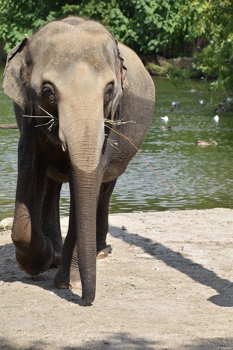 Elephant, Bath, River, Mammals, Nature, Animal, Zoo