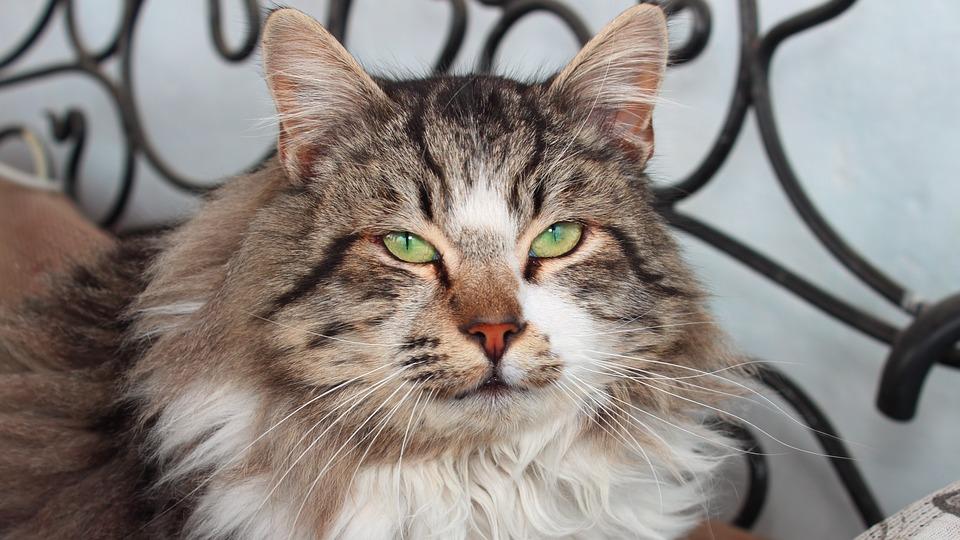 Animals, Cute, Cat, Portrait, Mammals, Pet