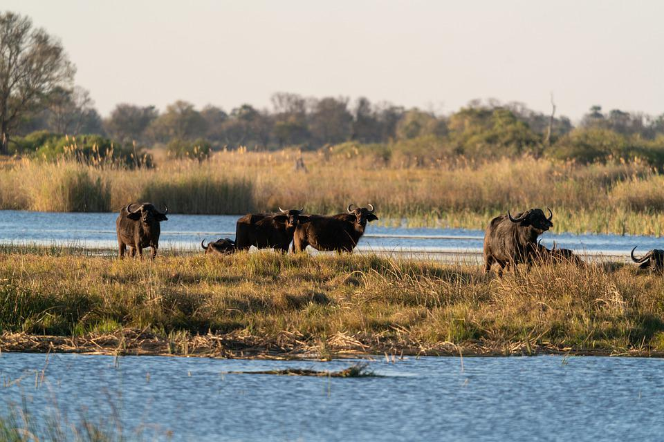 Water Buffaloes, Animals, River, Mammals, Wild Animals