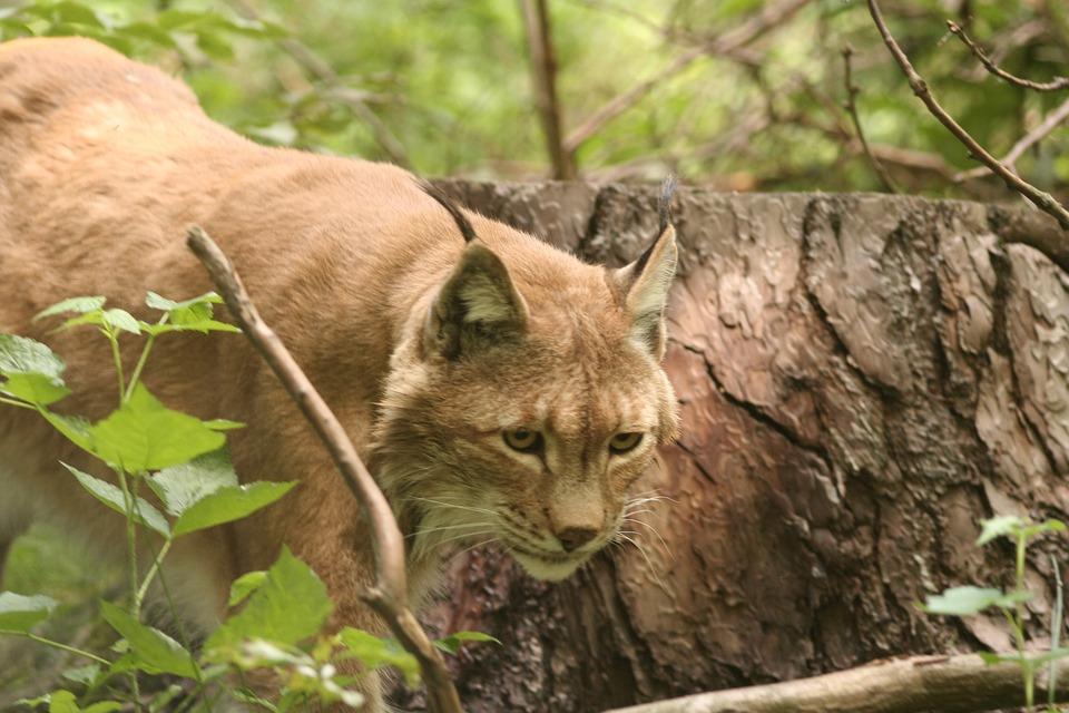 Lynx, Lynx Lynx, Cat, Wildcat, Animals, Mammals