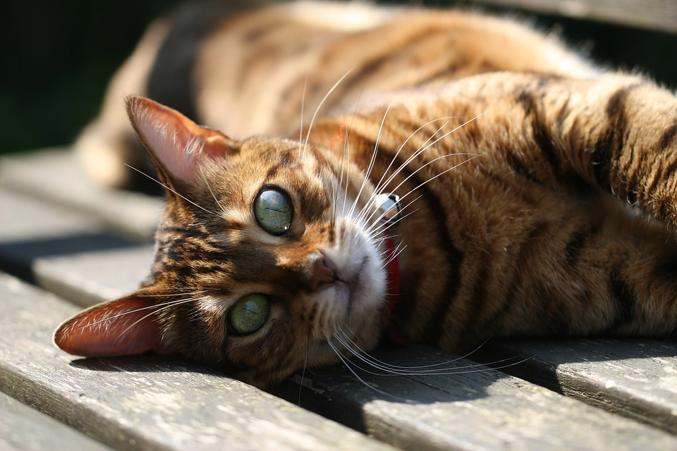Cat, Animal Kingdom, Mammals, Cute, Pet, Bengal