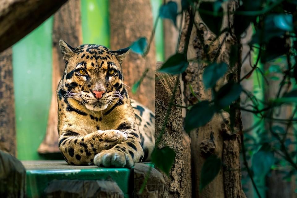 Beautiful, Clouded, Leopard, Animals, Mammals, Big