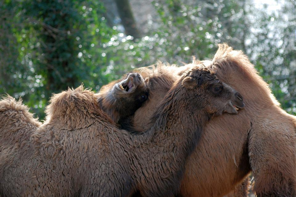 Camel, Courtship, Animals, Mammals, Courting, Nature