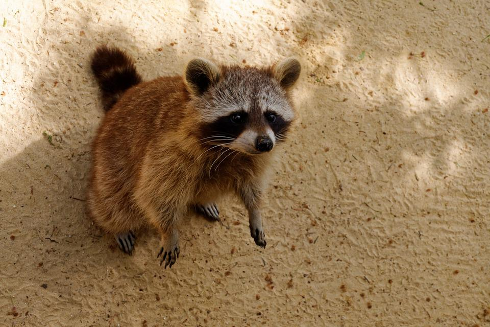 Raccoon, Animal, Cute, Nager, Rodent, Fur, Mammals