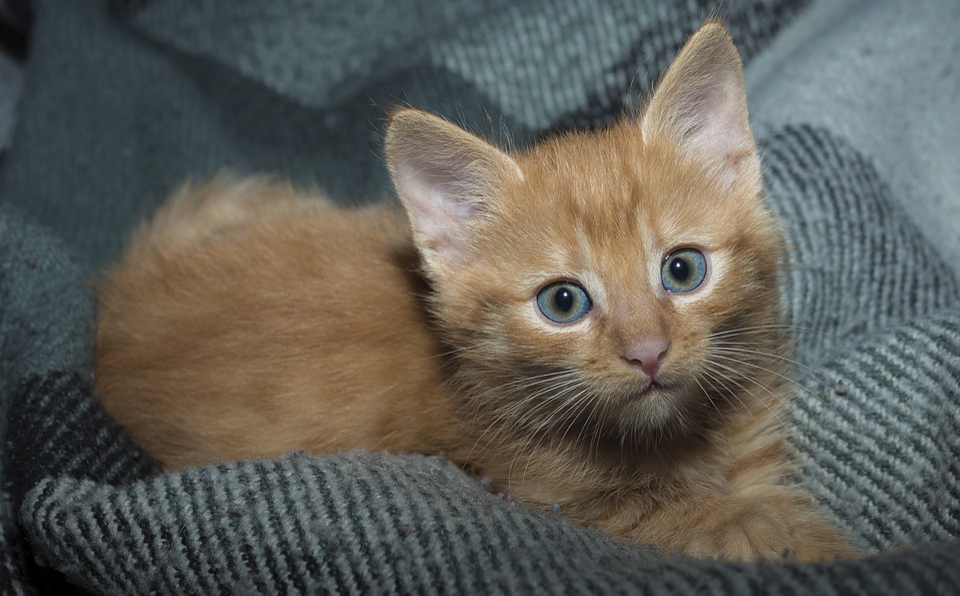 Cute, Cat, Animals, Pet, Mammals, Portrait, Little, Fur