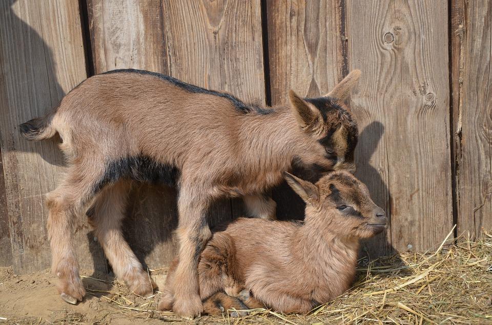 Goats, Animals, Young Animals, Cute, Mammals, Farm