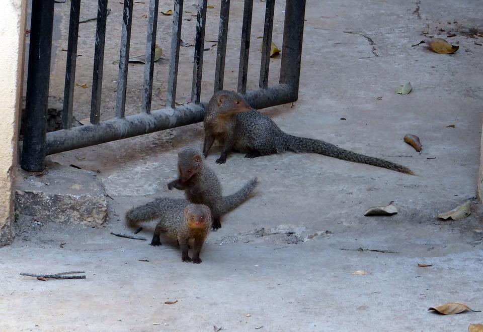 Mongoose, Gnawer, Rodents, Grey, Animals, Mammals