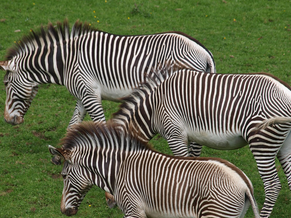 Zebras, Horses, Animals, Mammals, Savannah, Steppe