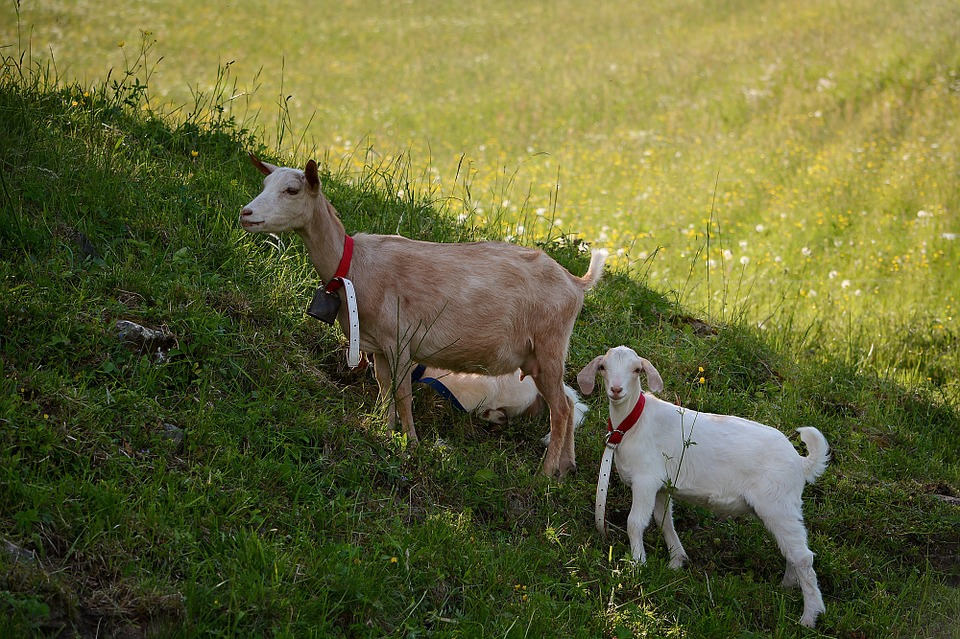 Goats, Animals, Mammals, Wildlife Photography, Kid