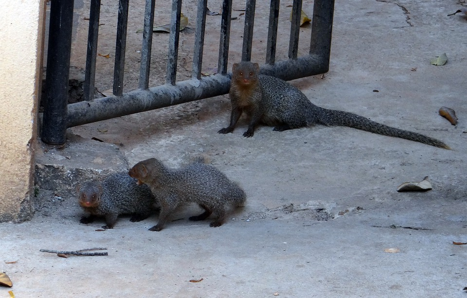 Mongoose, Gnawer, Rodents, Animals, Mammals, Babies