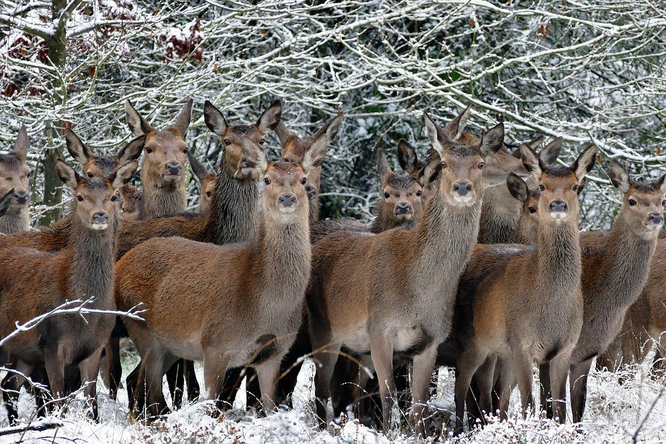 Free photo: Animals, Deer, Nature, Wild, Photo - Free Image on ...