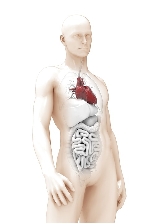Free photo Man Heart Thick Organ The Anatomy Of A 3d Model - Max Pixel