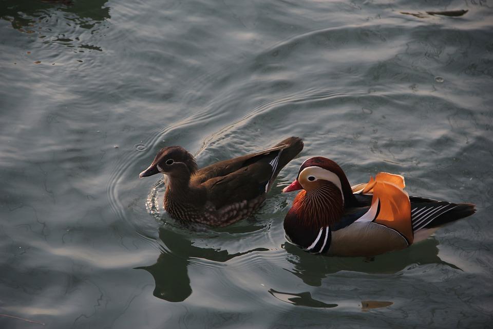 Mandarin Duck, Conjugal Love, Pairs, Brooks