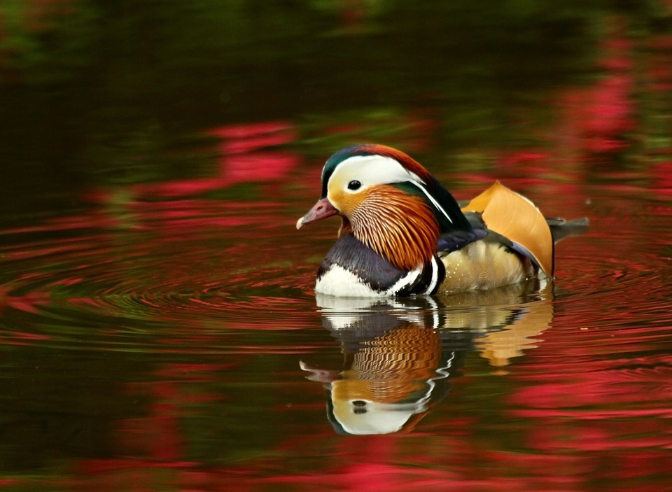 Mandarin, Duck, Isabella, Plantation, Water, Azalea