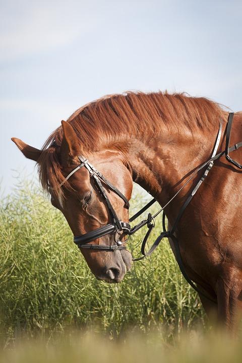 Free photo Mane Bridle Uzdečka Horse Gelding Mare Rusty