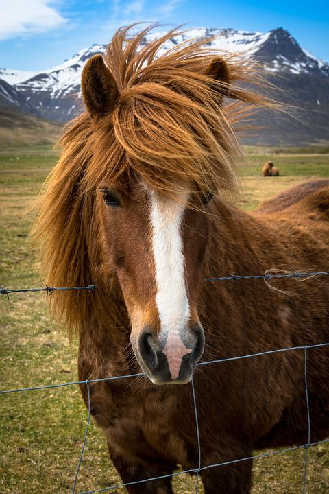 Pony, Horse, Iceland, Mane, Brown, High Country Pony