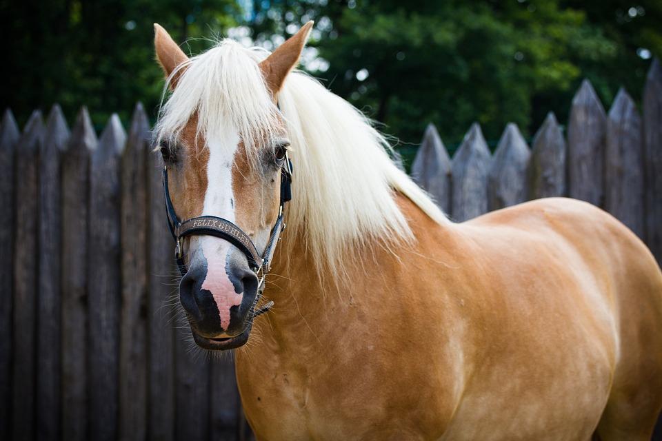 Animal, Mammal, Cavalry, Mane, Farm