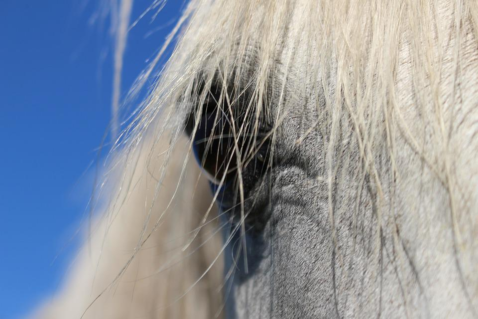 Horse, Stallion, Eye, Mane, Arabs, Animal Portrait