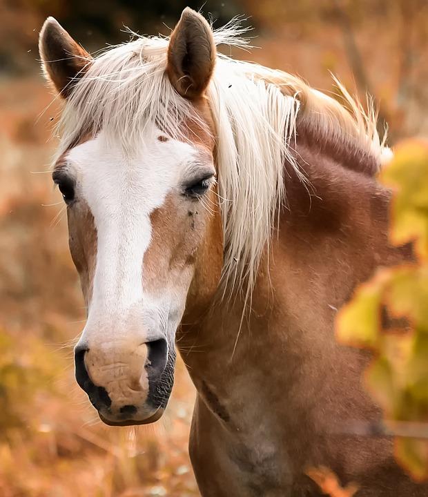 Equine, Horse, Head, Horses, Pre, Brown, Animal, Mane