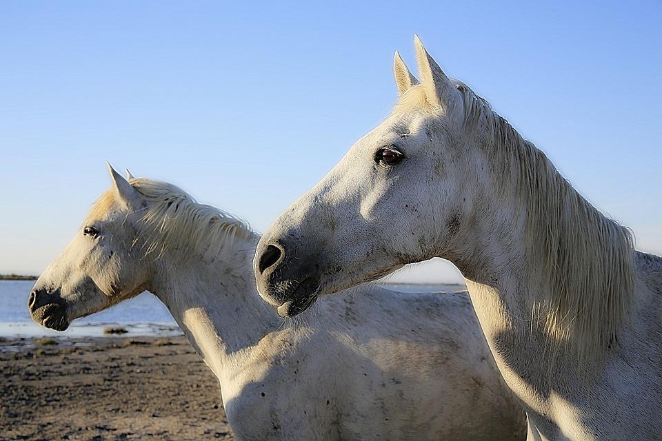 Horse, White, Equine, Mane, Horsehair, White Horse