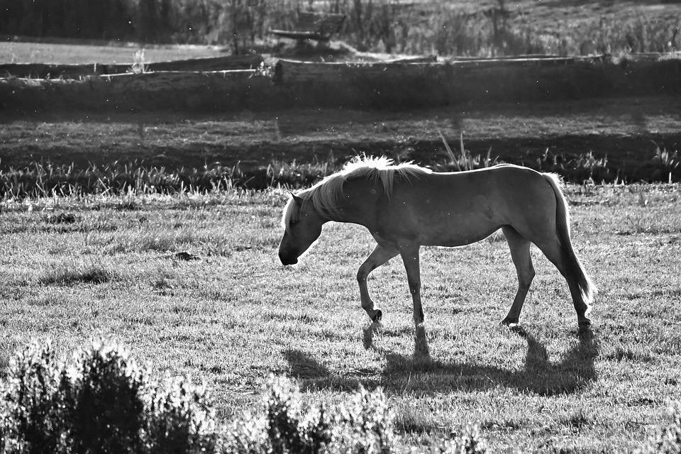 Horse, Animal, Mammal, Equine, Mane, Leg, Body Walking