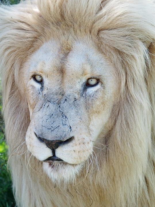 White Lion, White, Lion, Male Lion, Males, Mane