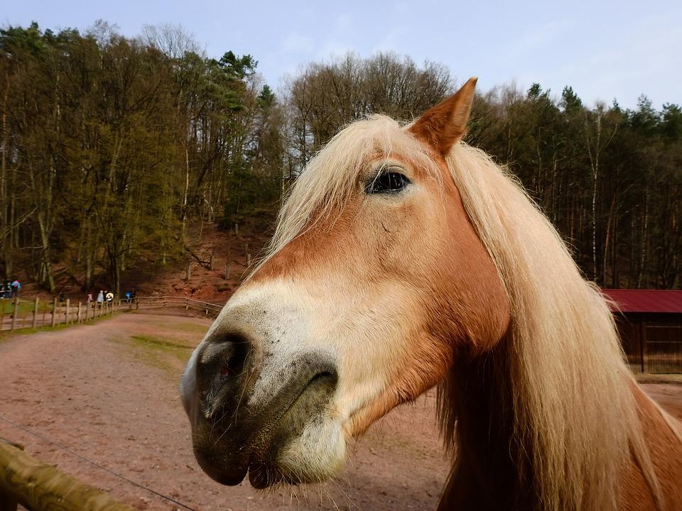 Horse, Gaul, Livestock, Mare, Animal, Mane