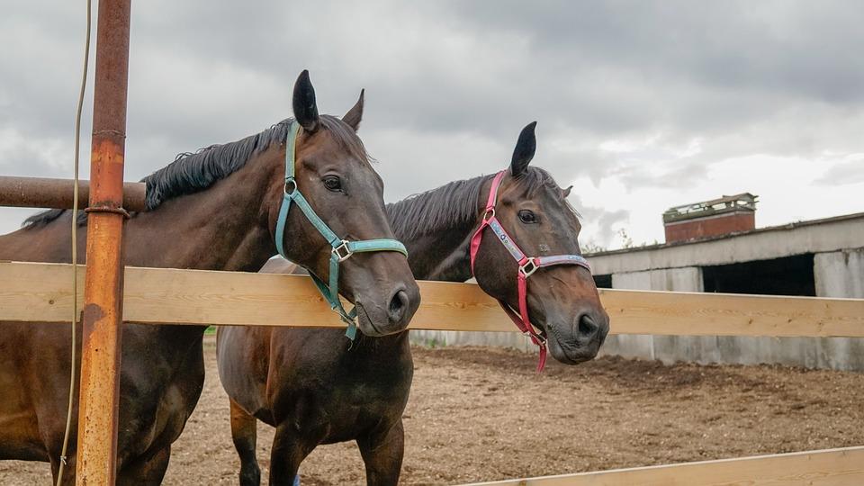 Horse, Animals, Brown, Mane, Nature, Stallion, Paddock