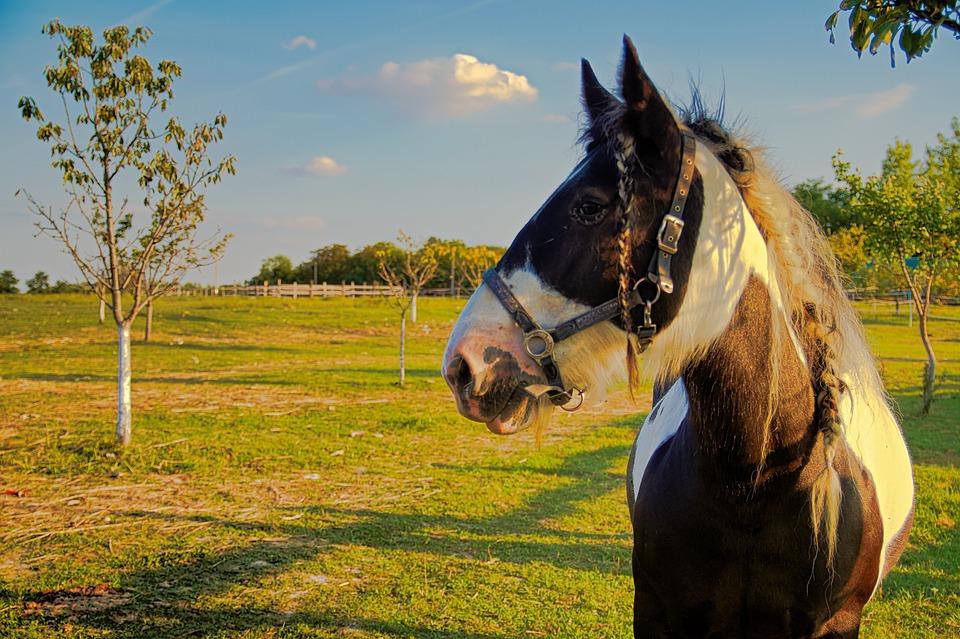 Horse, Horses, Nature, Animals, Mane, Pasture