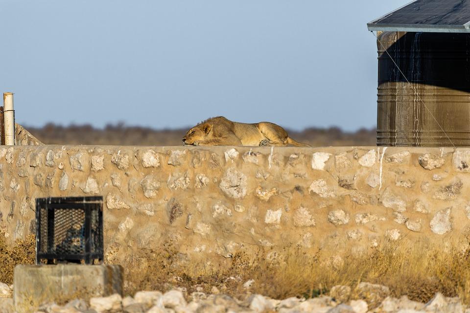 Lion, Males, Young, Mane, Big Cat, Predator