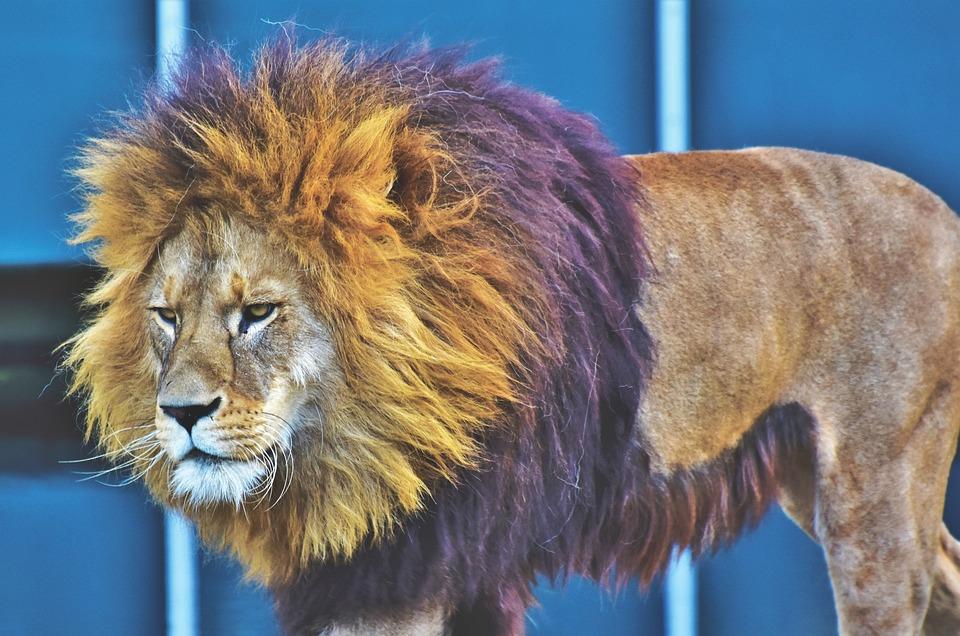 Lion, Big Cat, Predator, Wild Animal, Male, Mane