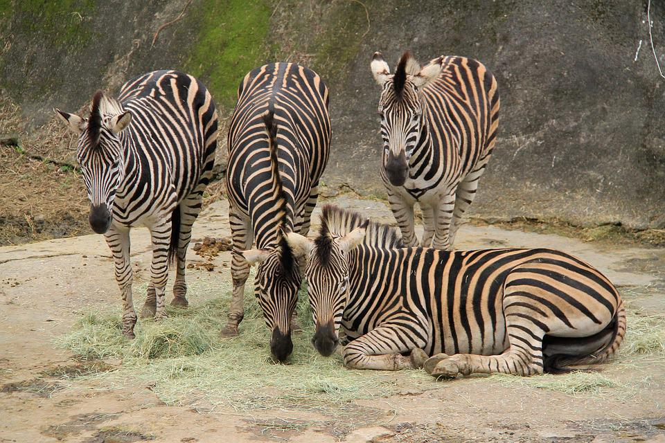 Zebra, Four, Stripes, Black, White, Mane, Companion
