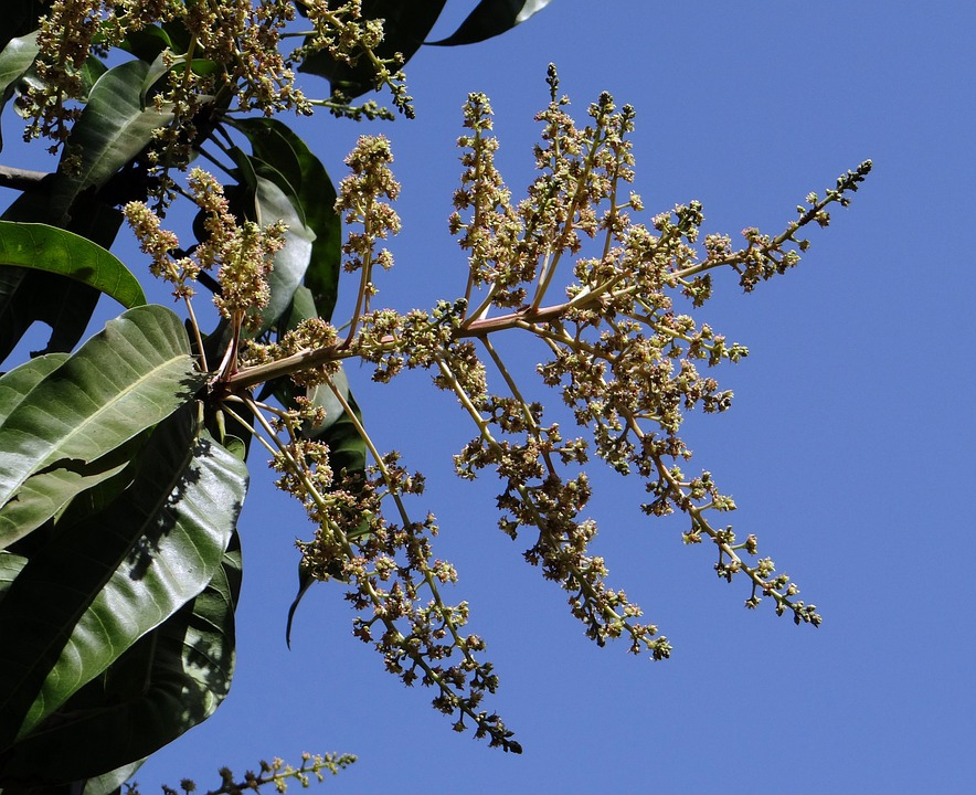 Flowers, Mango Blossoms, Mango Bloom, Dharwad, India