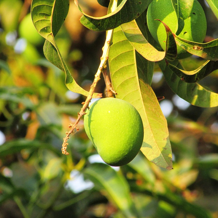 Mango, Fresh Mango, Dharwad, India, Fruit, Juicy, Food