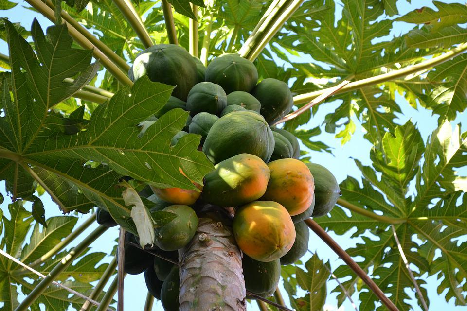 Mango, Tree, Fruit, Leaves, Green, Food, Branches
