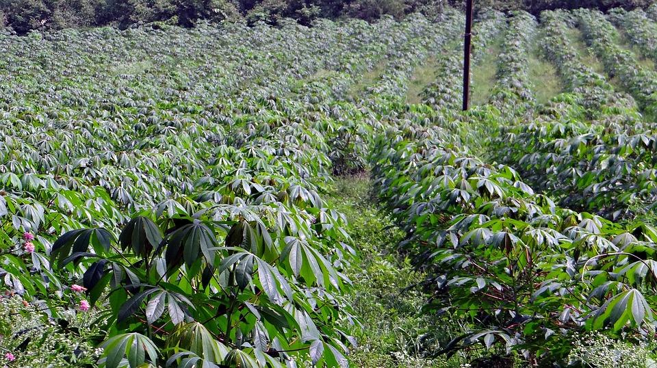 Cassava, Manihot Esculenta, Crop, Plantation, India